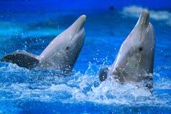 bottlenose κοινό δελφίνι Στοκ Εικόνες