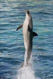 Bottlenose del delfín Foto de archivo libre de regalías
