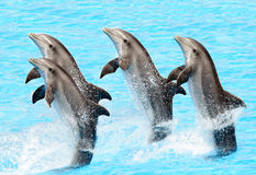 bottlenose delfinów truncatus turisops zdjęcia stock