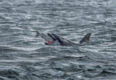 Bottlenose delfin Łyka Catched Dzikiego I Krwistego łososia Przy mureny Firth Blisko Inverness W Szkocja fotografia royalty free
