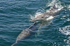 Bottlenose delfin Obrazy Stock