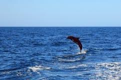 Bottlenose delfin Zdjęcia Royalty Free