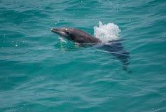 Bottlenose delfin Obraz Royalty Free