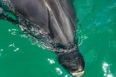 Bottlenose delfinu zakończenie Up zdjęcie royalty free