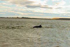 Bottlenose delfinów mureny firth Scotland Obrazy Royalty Free