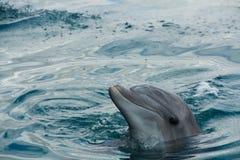 Bottlenose-Delphin Lizenzfreies Stockfoto