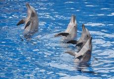 Bottlenose-Delphine, die auf eine Show sich setzen Lizenzfreie Stockfotografie