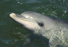 Bottlenose Dolphin. A closeup of a Bottlenose Dolphin Royalty Free Stock Image