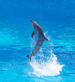 Bottlenose dolphin. Jumping high from bue water stock photo