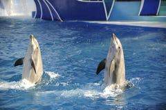 Bottlenose dolphin. Royalty Free Stock Image