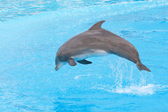 Bottlenose dolphin. Jumping in the aquarium show stock photography