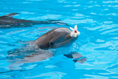 Bottlenose dolphin. In aquarium with flower on mouth stock photography