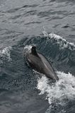 Bottlenose Dolphin. Diving into the Pacific stock photos