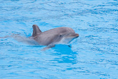 Bottlenose dolphin. In the aquarium stock images