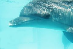 Bottlenose dolphin. Underwater portrait of bottlenose dolphin royalty free stock photos