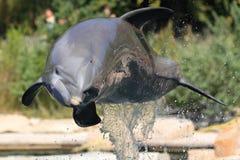 Bottlenose dolphin. The jumping bottlenose dolphin royalty free stock image