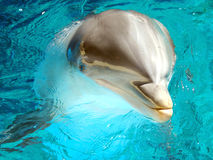 Bottlenose Dolphin 3. Male Atlantic Bottlenosed Dolphin Stock Photos