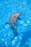 Bottlenose Dolphin. Posing with its head above water Stock Photography