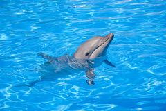 Bottlenose Dolphin. Swimming along with its head above water Royalty Free Stock Photo