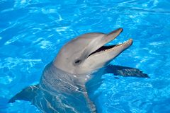 Bottlenose Dolphin. A happy Bottlenose Dolphin laughing and showing the teeth Royalty Free Stock Photography