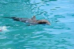 Bottlenose dolphin. Latin name Tursiops truncatus swimming Stock Photos