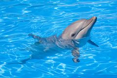 Bottlenose Dolphin. Swimming along with its head above water Royalty Free Stock Photography