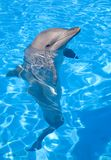 Bottlenose Dolphin. Posing with its head above water Stock Images