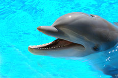 Bottlenose Dolphin 5. Male Atlantic Bottlenosed Dolphin Royalty Free Stock Image