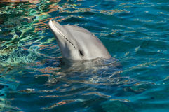 Bottlenose Dolphin. A Bottlenose Dolphin swims alongside royalty free stock photos