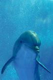 Bottlenose dolphin. Underwater in aquarium, Barcelona zoo Royalty Free Stock Photos