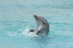 Bottlenose Dolphin. Or bottle-nose dolphin (Tursiops truncatus), performs a water ballet in synchronized swimming maneuver royalty free stock images