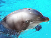 Bottlenose Dolphin. Male Atlantic Bottlenosed Dolphin Royalty Free Stock Photo