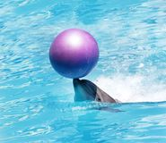 Bottlenose dolphin with ball in water Stock Image