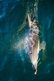 Bottlenose Dolphin Blowing Rainbow Royalty Free Stock Photography