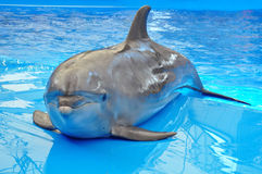 Bottlenose dolphin in blue pool water Royalty Free Stock Photo