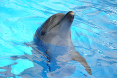 Bottlenose dolphin in blue water Royalty Free Stock Images