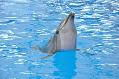 Bottlenose dolphin in blue water Royalty Free Stock Image