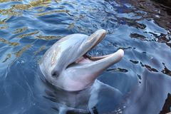 Bottlenose dolphin. This bottlenose dolphin appears to be grinning as it sticks its head above the water to pose for a photo royalty free stock photo