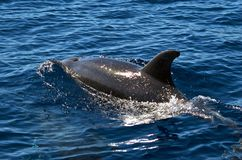 Bottlenose dolphin breaking the surface. A bottlenose dolphin (Tursiops truncatus) breaking the surface of the oceanic water outside the Azores Stock Photo