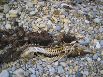 Bottlenose Dolphin Carcass, California Beach Royalty Free Stock Image