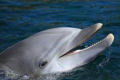 Bottlenose dolphin detail. The detail of common bottlenose dolphin stock images
