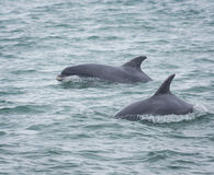 Bottlenose dolphin dolphins. Bottlenose dolphin / dolphins, marine wildlife in Cardigan Bay, Wales Royalty Free Stock Photo