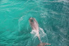 Bottlenose dolphin in green water Stock Image