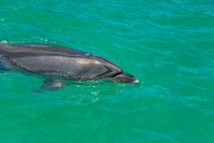 Bottlenose Dolphin In Green Waters royalty free stock photos