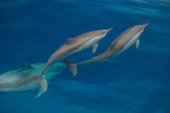 Bottlenose Dolphin Group Stock Image