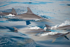 Bottlenose Dolphin Group Stock Photography