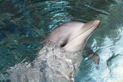 Bottlenose Dolphin Stock Images