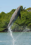 Bottlenose Dolphin Jumping. Out of the water royalty free stock photo
