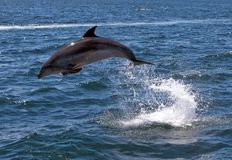 Bottlenose Dolphin Jumping Stock Photography