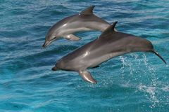 Bottlenose dolphin jumping Stock Images